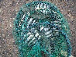 和歌山北港魚つり公園 カゴ釣りでサンバソウ・グレ・ウマヅラハギ
