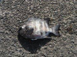 和歌山北港魚つり公園 サンバソウ33cmの釣果