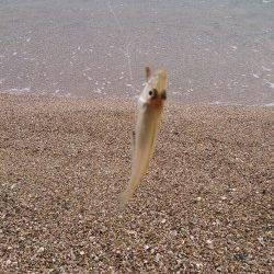 午後から須磨海岸で投げ釣り 14時ぐらいまでキス入れ食いでした!