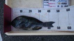 口和深沖磯 フカセ釣りにてグレ48cmを頭に20匹!