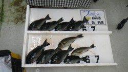 江須崎にてフカセ釣り グレ~32cm8枚とイサギ2枚