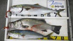白浜地磯でルアー釣り ブリ86cm・メジロ69cm・ ヒラスズキ81cm