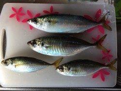 南港周辺でサビキ釣り 良型アジ・サバが釣れました