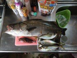 サビキ釣りからの即興ノマセ釣り!65cmのスズキです。