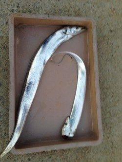 本荘人工島でワインド 2年ぶりの太刀魚GET