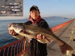 平磯海づり公園 シラサでハネ・スズキが好釣果! 58~76cmを5尾