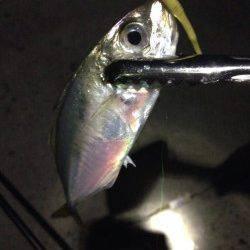 林崎漁港 アジングで入れ食い堪能、巻きの釣りに好反応でした