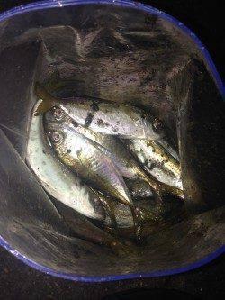 泉大津にてアジのたまり場発見♪ アジングで1時間半釣れて楽しめました