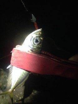 泉大津にてアジング釣行 1投目でヒットしましたが後はポツポツでした