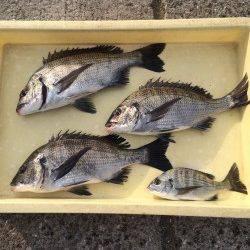 和歌山マリーナシティ海釣り公園 紀州釣りでナイスサイズのチヌ