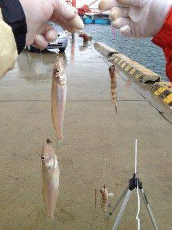 都志港にて投げ釣り 二人で10匹のキス、サイズはよいですが反応渋く…