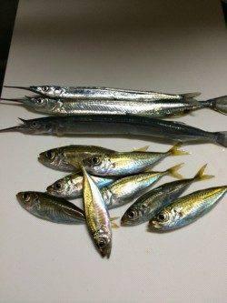 香住東港サヨリと豆アジ 釣れてる人とそうでない人の差が極端でした