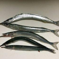 柴山港 最近下降気味のサヨリ釣り
