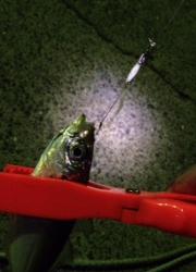 海南エリア アジングでカマス・アジ アジのお刺身は脂がのってました!