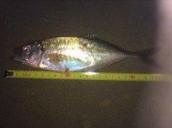 大阪南港アジング アジの活性が良くジャンボ4匹ふくむ25匹の釣果