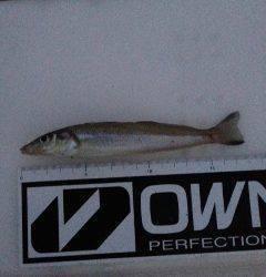 深日港にて投げ釣り カレイは音沙汰なし、夜明け前にキスの釣果