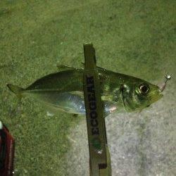 須磨 深夜からのアジングは〜19cmの数釣り メバルの姿も
