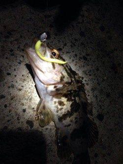 林崎漁港 テトラ帯でロッキング調査☆タケノコメバル・ソイ・アジが釣れました