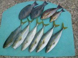 ヒラバエ  カゴ釣りでハマチ・グレの釣果