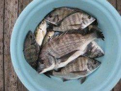 【8日】宮崎筏でのちぬ釣り エサはオキアミです