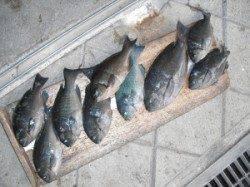 ジロー磯 フカセ釣りでグレ〜31cm10尾の釣果