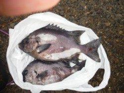 三尾の磯のフカセ釣果 黒島にてグレ47cm!