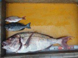 三尾の磯 下荒黒島、小仲島にて大鯛、良型マダイが釣れました(^_^)v