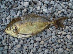 広一文字 フカセ釣りでグレ20匹に小グレ多数の釣果