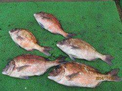 田井の海上釣り堀 メジロ・マダイの釣果
