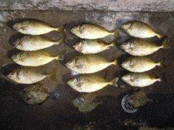湯浅の磯 カルモ島にて酒カスをエサにアイゴ・バリコの釣果