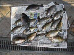 紀北初島の磯・カンゴバエ フカセでグレとアイゴの釣果