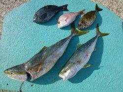 神谷 カゴ釣り・飲ませ釣りでメジロ・ハマチ・イサギなどの釣果