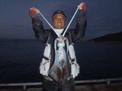 須磨海づり公園でアオリイカ1100g★ エギングでの釣果です