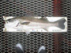 尼崎市立魚つり公園 エビ撒きでセイゴ7匹 ノマセでスズキ81cm