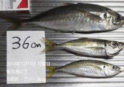 香住港にて36㎝の良型アジの釣果です
