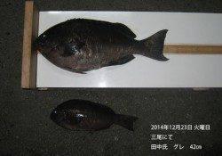 三尾にてグレ42㎝の釣果