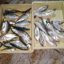 岸和田一文字 サビキで良型アジの釣果