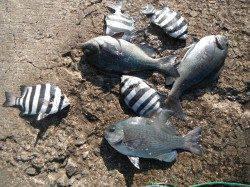 和歌山北港魚つり公園 サンバソウ・グレ・メバルの釣果