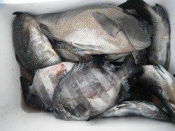 【12日】和歌山北港魚つり公園 グレとサンバソウの釣果