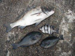 【15日】和歌山北港魚つり公園でのグレ・サンバソウ釣果