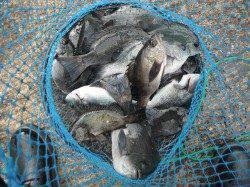 和歌山北港魚つり公園 グレとメバルの釣果