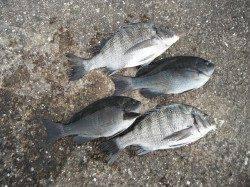 和歌山北港魚つり公園 天秤かご釣りでチヌ・グレの釣果
