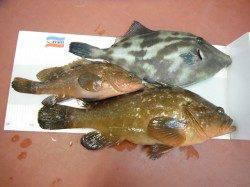 北港釣り公園 アコウの釣果も出てます