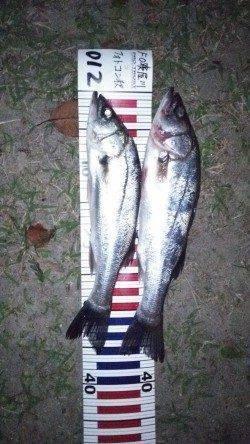 舞洲にて竿下でスズキの釣果 23時頃釣れました