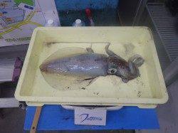 みなべ町堺漁港 エギングでアオリイカ1385g&870gの2ハイ