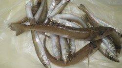 芳養堤防 投げ釣りでキスの釣果、最大28.5cm