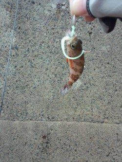 千歳にてメバリング 漁港の中で小さいアタリ、プチサイズのメバル釣れました