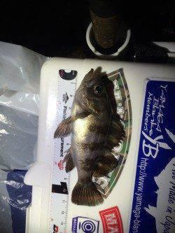 大阪南港 アジングの釣果、27cmの良型アジも釣れています