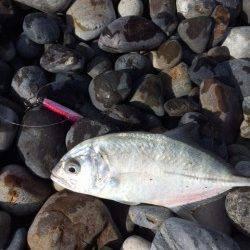 新宮 大浜にてショアジギング メッキが釣れました♪