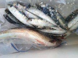 マリーナシティ海釣り公園 1時間のサビキ釣りでイワシ